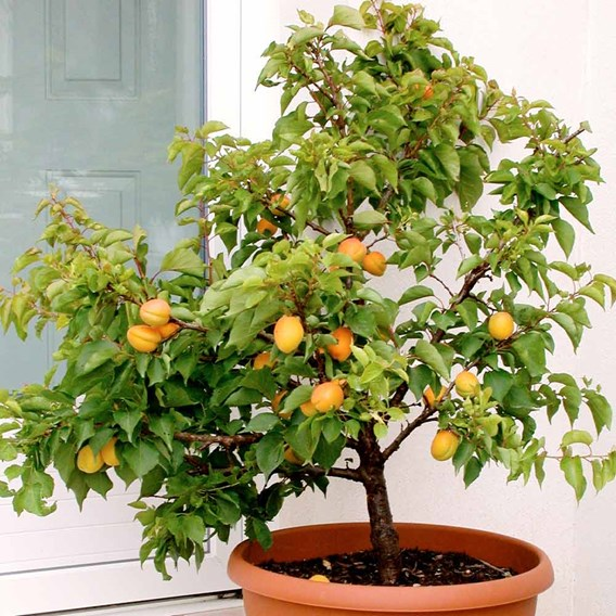 Patio Fruit Tree Sibleys Apricot Flavorcot