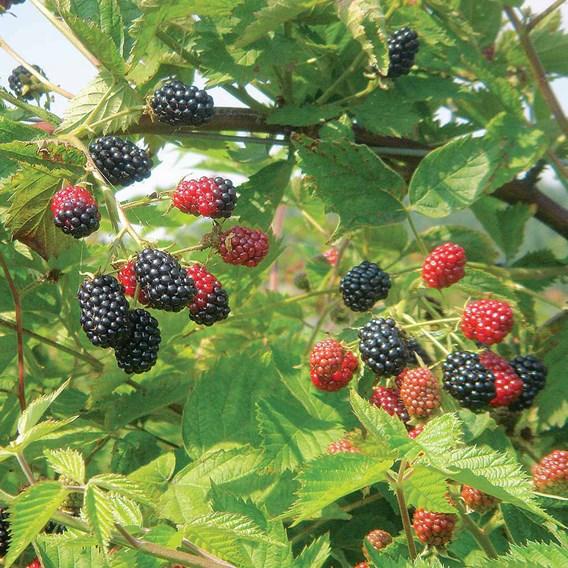 Blackberry Loch Ness 2ltr