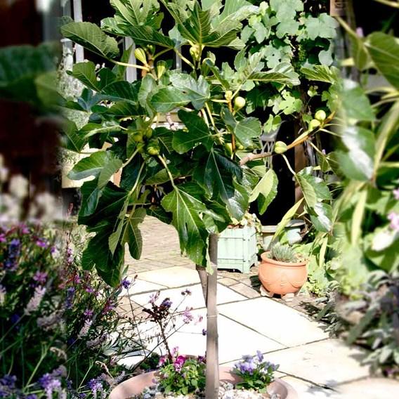 Fig Plant - Panachee 3Ltr