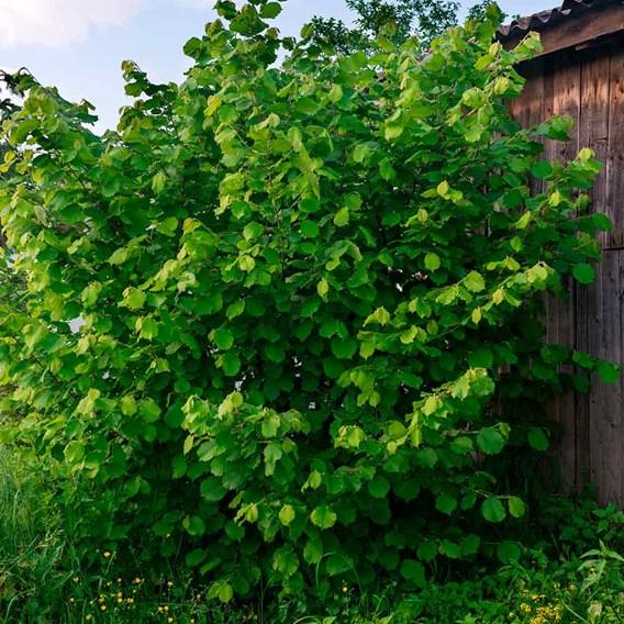 Truffle Tree - Hazel Kentish Cob