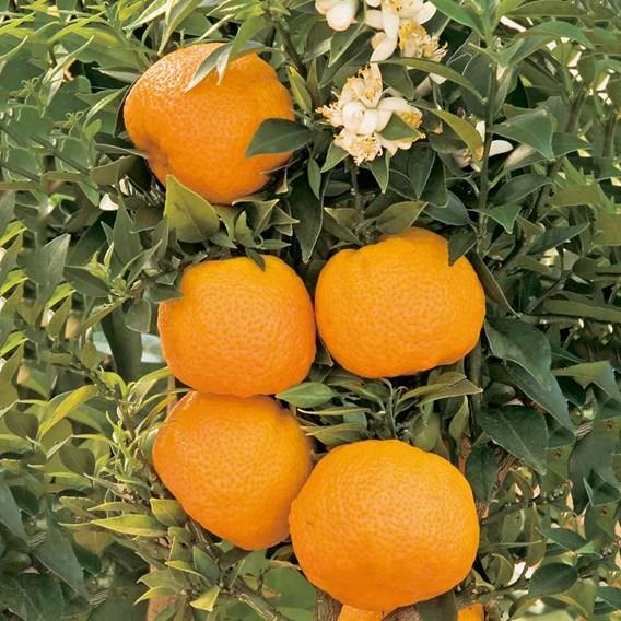 Citrus Tree - Mandarin