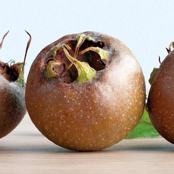 Patio Fruit Tree Medlar
