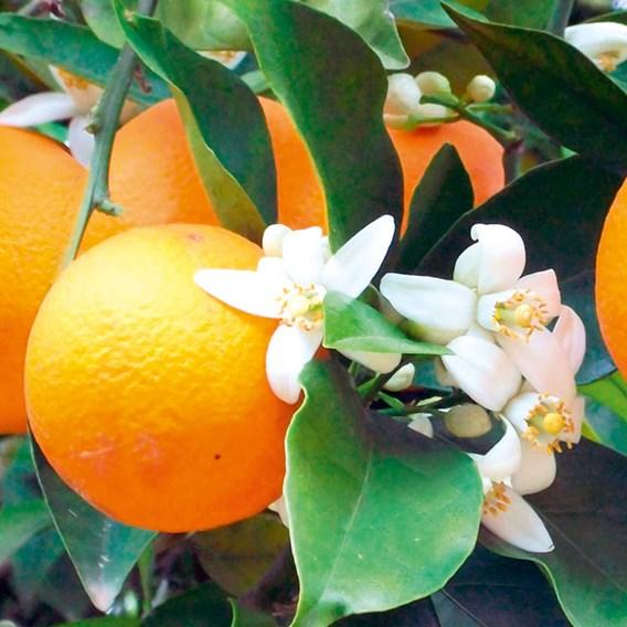 Citrus Tree - Orange