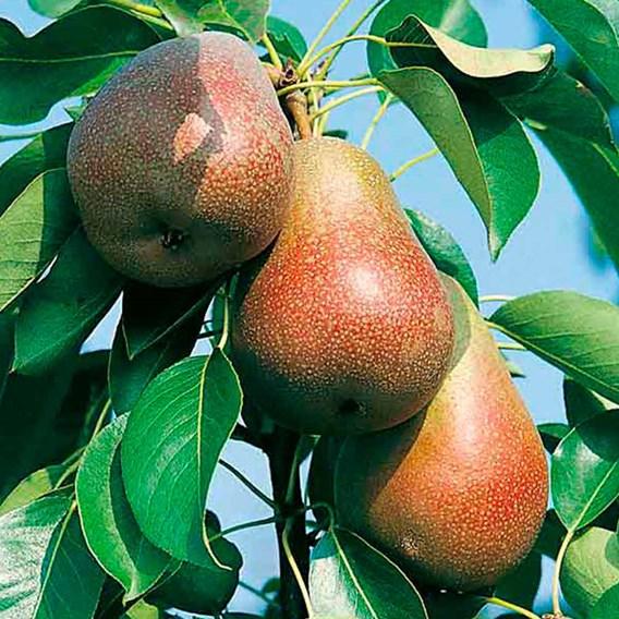 Gourmet Fruit Tree - Pear