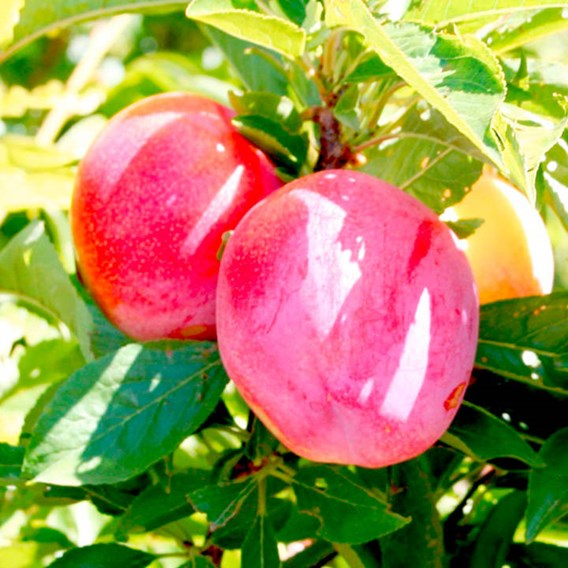 Pluot Pink Candy 1