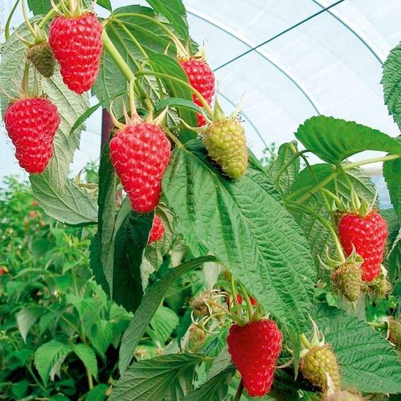 Raspberry Plants - Autumn Treasure