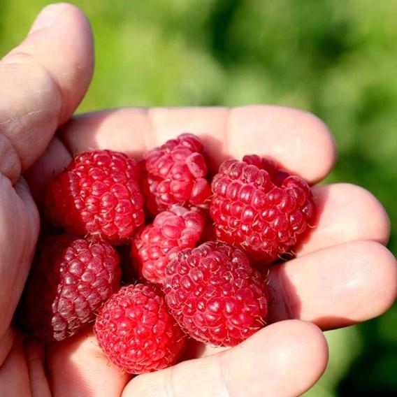 Raspberry Little Sweet Sister