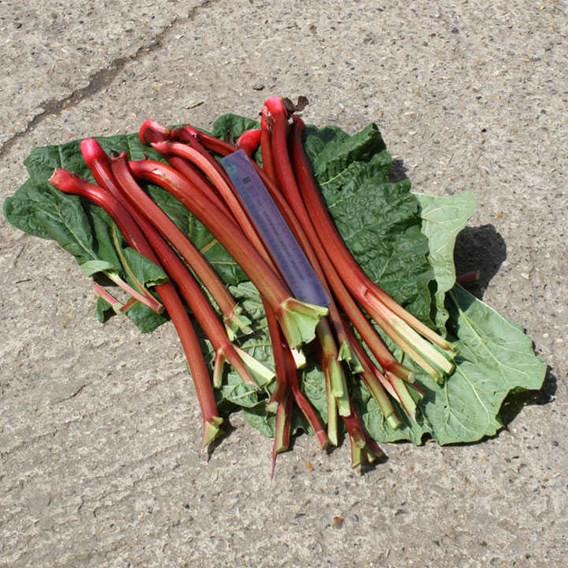 Rhubarb Crowns - Fulton's Strawberry Surprise