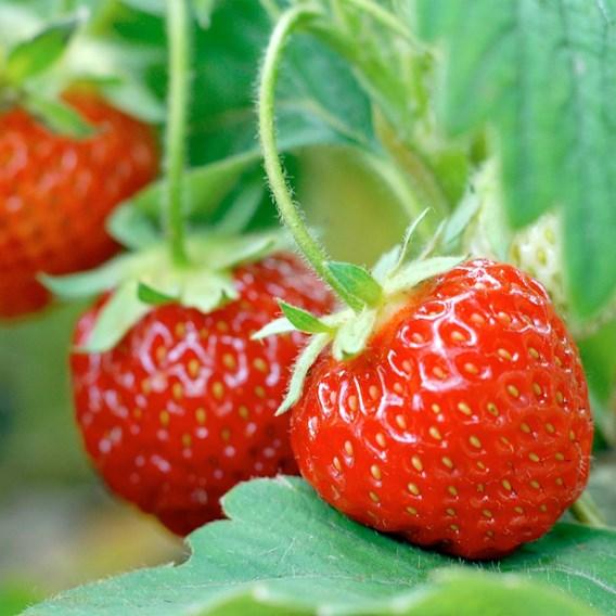Strawberry Mid Pegasus 12