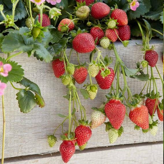 Strawberry Plants - F1 Frisan