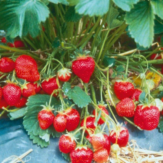 Strawberry Plants - Marshmello