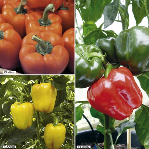 Pepper Grafted (Sweet) Collection (3) P10