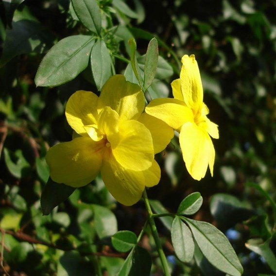 Jasminum nudiflorum Plant