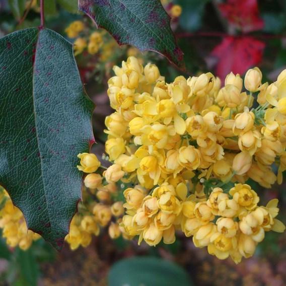 Mahonia aquifolium Plant - Apollo