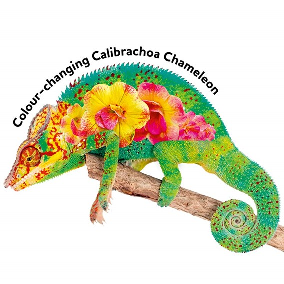Calibrachoa Chameleon (6)