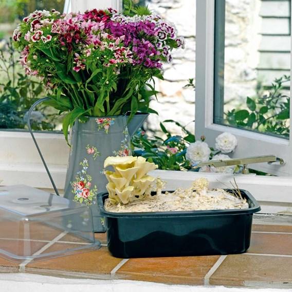 Mushroom Windowsill Kit - Yellow Oyster