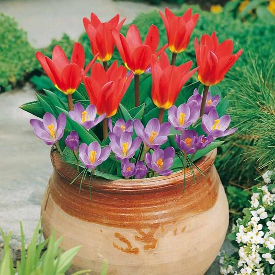 Plant-O-Tray Patio Pre-planted Bulbs - Tulip & Crocus(19)