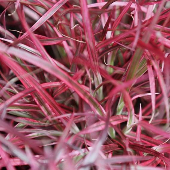 Pennisetum Plant - Fireworks