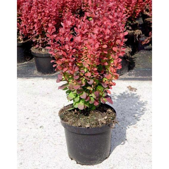 Berberis thun. Plant - Rosy Rocket®