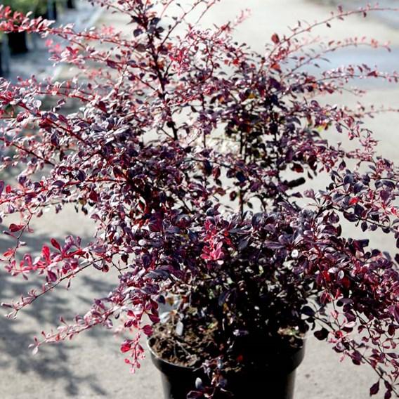 Berberis thunb. 'Rose Glow'