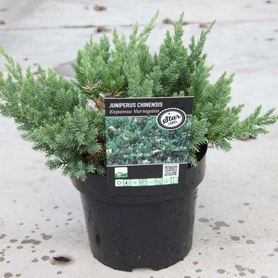 Juniperus chinensis 'Expansa Variegata'
