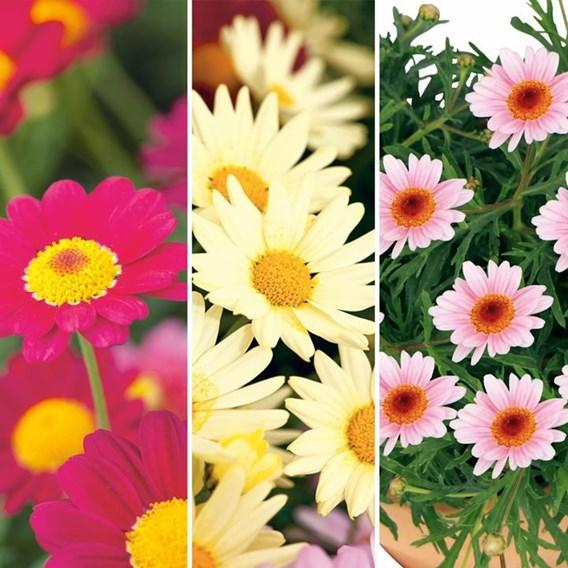 Argyranthemum Plants - Pretty Daisies Collection