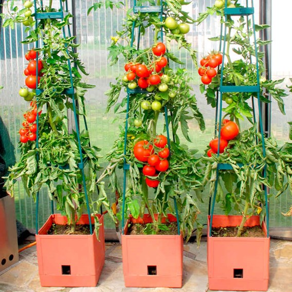 Tomato Success Kit