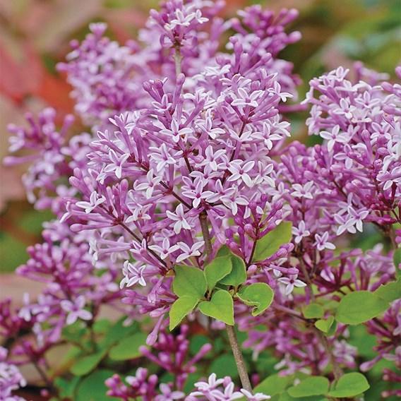 Lilac (Syringa) (STD) Meyeri Palibin 2 Litre Inc: