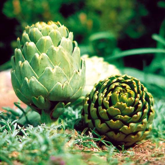 Artichoke  Green Globe (1) 2 Ltr