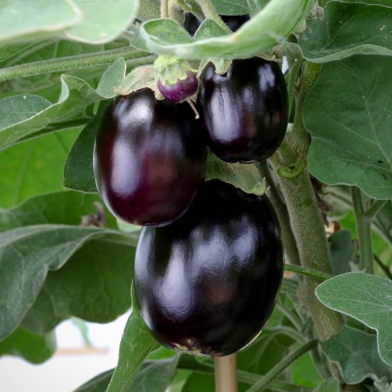 Aubergine Seed - Patio Mix
