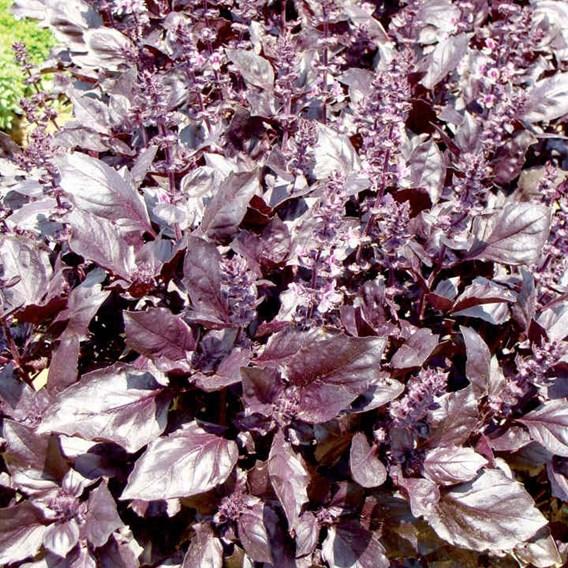 Herb Seeds - Basil Round Midnight