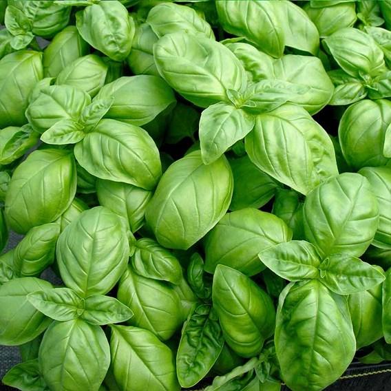 Herb Seed - Basil Sweet