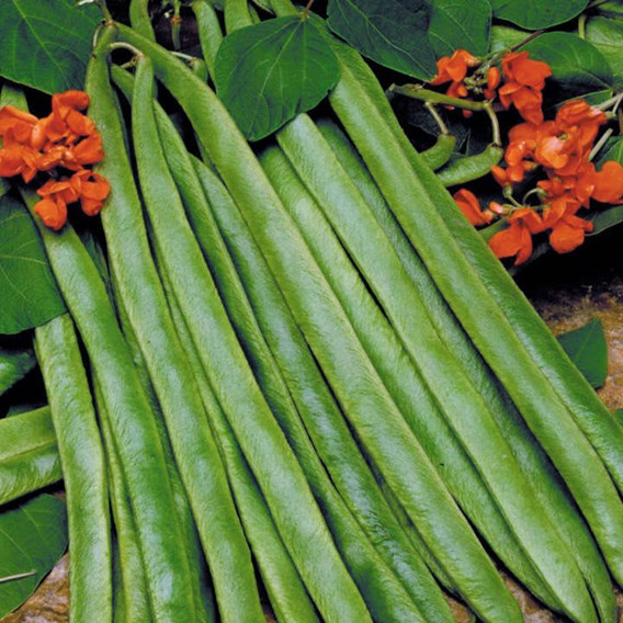 Bean (Runner) Seeds - Lady Di