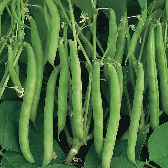 Bean (Dwarf French) Seeds - Sprite