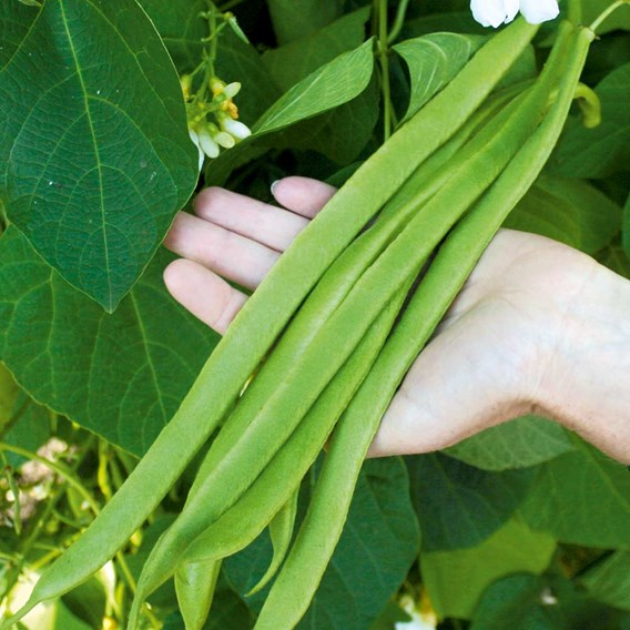 Bean (Runner) Seeds - Moonlight
