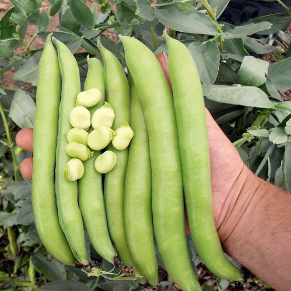 Bean (Broad Bean) Seeds - Luz de Otono