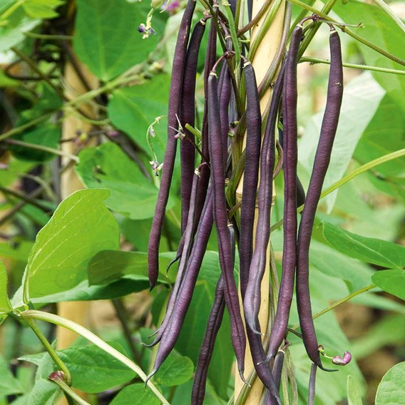 Bean (Climbing French) Seeds - Colourful Climbing Mix