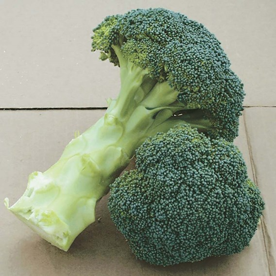 Broccoli Seeds - F1 Green Magic