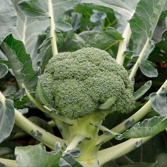 Broccoli Monclano (22)