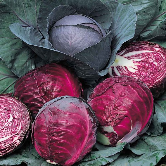 Cabbage Seeds - Red Drumhead