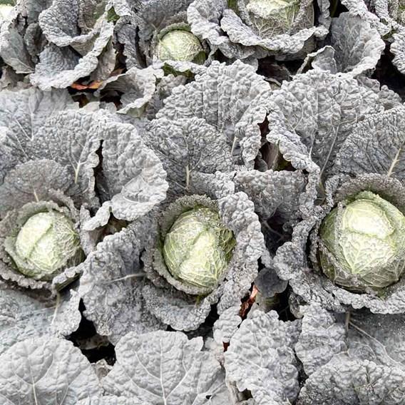Cabbage (Savoy) Seeds - F1 Serpentine