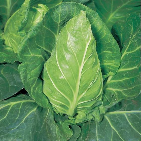 Cabbage Seeds - Greyhound