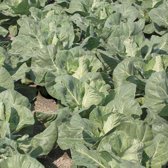 Cabbage Regency (6) P9
