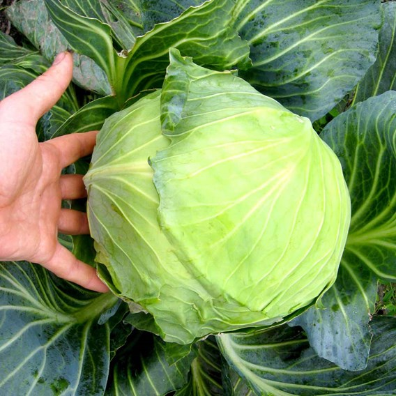 Cabbage Round Continuity Collection (21)