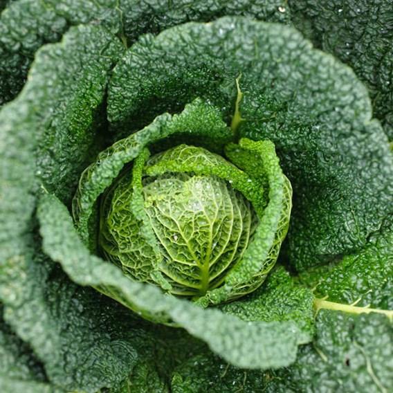 Cabbage Savoy Vertus