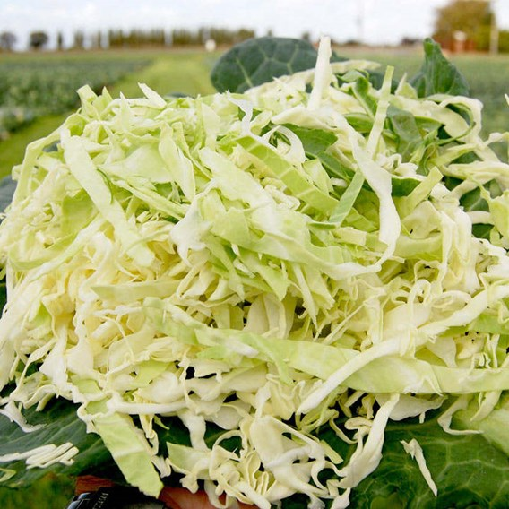 Cabbage Seeds - Cabbice F1