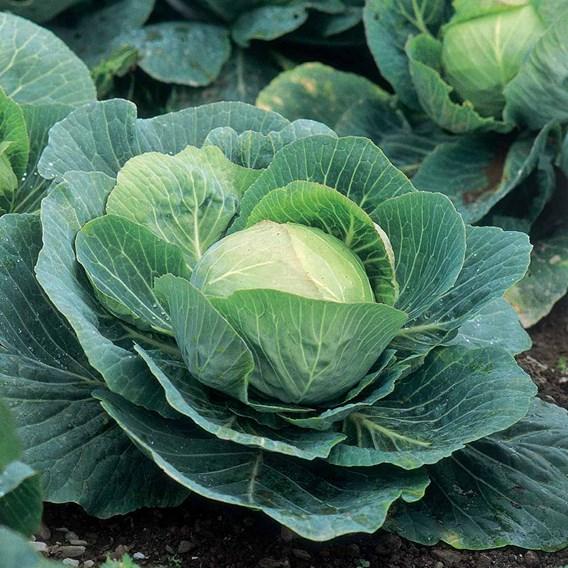 Cabbage Seeds - F1 Kilazol