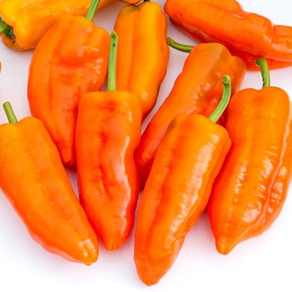 Pepper Grafted Plants - Orange Kiss