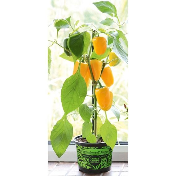 Pepper Pillar Yellow (1) P12