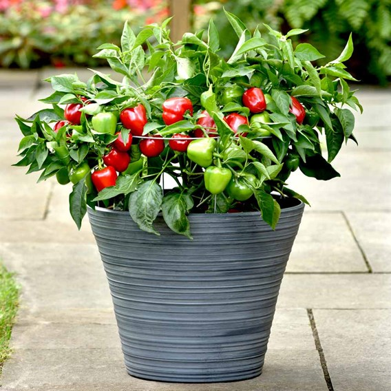 Pepper Patio Plant - Snackabelle